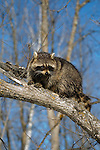 Raccoon (Procyon lotor) sitting on a tree limb6990