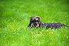 Rauhhaardackel im grünen Gras