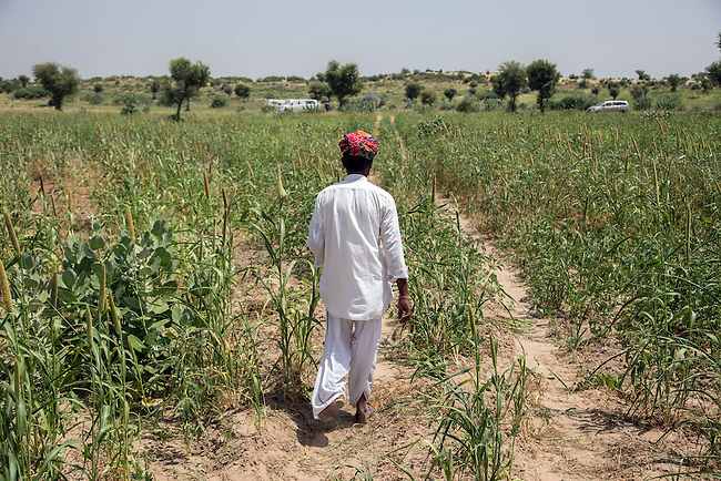 04 September, 2013, Jodhpur, Rajasthan INDIA : Village elder, Gopal Singh walks through fields of the local crop Bajra towards the new road. with other men of Boongari Village, District Jodphur and speaking about  how the Pradhan Mantri Gram Sadak Yojana program (PMGSY) has made a difference to their lives in Rajasthan. The roads have allowed them to move in medical supplies and increased the village income by more efficiently getting crops to market. It also means the women don't have to hand mill the grain but can transport it to a local mill. PMGSY is a nationwide plan in India to provide good all-weather road connectivity to unconnected villages.<br /> It is under the authority of the Ministry of Rural Development and was begun on 25 December 2000 It is fully funded by the central government and implemented in conjunction with the World Bank<br /> The goal was to provide roads to all villages  with a population of 500 persons and above by 2007, in hill states, tribal and desert area villages with a population of 250 persons and above by 2007. Picture by Graham Crouch/World Bank