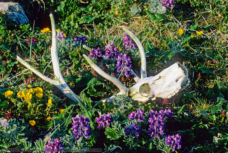 Caribou skull and antlers, lupine and cinquefoil, St. Paul, Pribilof Islands, Alaska