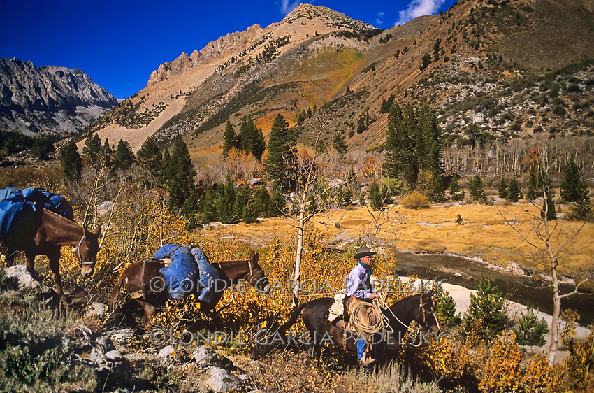 Cowboy leading a string of mules in fall colored canyon. Eastern Sierra, California.