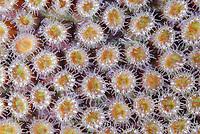 polyps of Great star coral, Montastraea cavernosa, Bonaire, Caribbean Netherlands, Caribbean