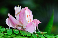 pink orchid mantis, Malaysian orchid mantis, Hymenopus coronatus, or Hymenopus bicornis, a flower mantis, a praying mantis which mimics to perfection a Phalaenopsis orchid flower to trick its insect prey, Cameron Highlands, West Malaysia