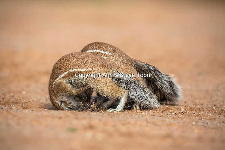 Ground squirrels (Xerus inauris) playfighting, Kgalagadi Transfrontier Park, Northern Cape, South Africa, January 2016