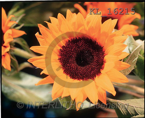 Interlitho, Alberto, FLOWERS, portrait, macro, photos, sunflower, KL, KL16215,#F# Blumen, flores, retrato