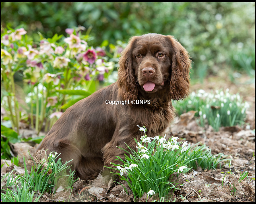 BNPS.co.uk (01202 558833)<br /> Pic: PhilYeomans/BNPS<br /> <br /> Rosie - a nine month old Sussex Spaniel could play a big role in saving her breed.<br /> <br /> Dying breed? - Shocking new figures reveal the Sussex Spaniel is now Britain's rarest breed of dog.<br /> <br /> Only 34 puppies were registered last year, as modern owners prefer labradoodles, cockapoos and French bulldogs to Britain's traditional native hounds.<br /> <br /> Now the Sussex Spaniel Association are appealing for the Duke & Duchess of Sussex to adopt a puppy and popularise the struggling breed before its to late.<br /> <br /> Association secretary Sheila Applby said 'We desperately need to raise the profile of the breed before it's too late, and hopefully the Sussex link will strike a chord with the Royal couple and they can lend their considerable support to help save this wonderful and charismatic breed of dog.'