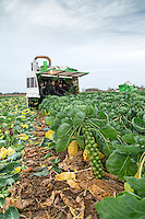 Harvesting brussels sprouts with Tomoba self propelled harvesters - Lincolnshire, November