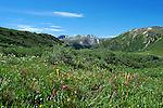 July 26, 2016 - Aspen, Colorado, U.S. -  Rocky Mountain wildflowers are in abundance during the height of wildflower season along the Lost Man Trail in the Hunter-Fryingpan Wilderness Area near Aspen, Colorado.