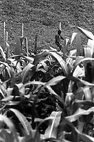Messico, Chiapas, Morelia 2007.II incontro dei popoli zapatisti con i popoli del mondo. Miliziano nel campo di mais.Chiapas, Morelia August 2007..The meeting of the Zapatista Peoples with the world..Militiaman in cornfield.