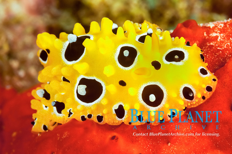 nudibranch, Phyllidia occellata, on encrusting red sponge, Fiji, South Pacific Ocean