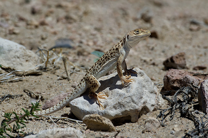437880016 a wild long-nosed leopard lizard gambelia wislizenii sits on a rock along fish slough road in mono county california