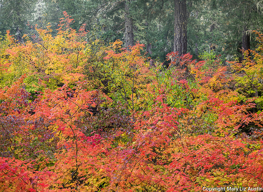Willamette National Forest, OR: Colorful tapestry of autumn colors of vine maple (Acer circinatum) and red-osier dogwoods (Cornus stolonifera)