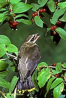 WX01-007z  Cedar Waxwing - immature eating berries - Bombycilla cedrorum