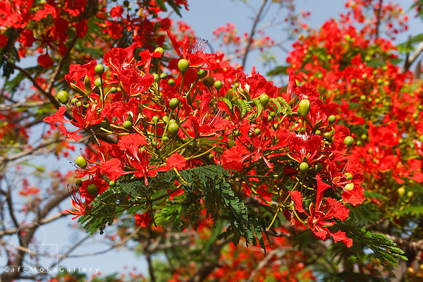 Flamboyant tree in bloom