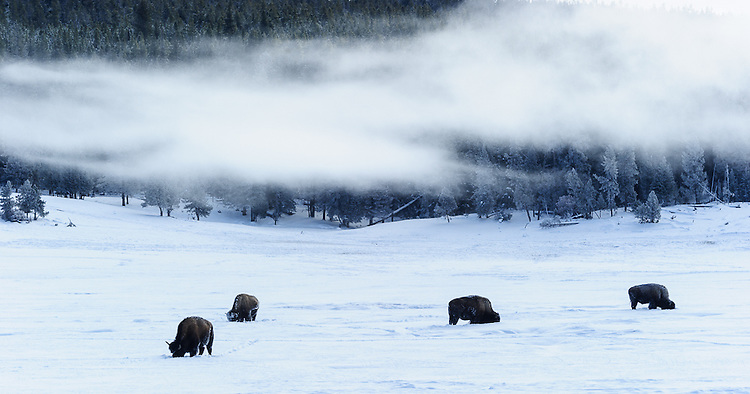 Bison grazing under low clouds and fog near Firehole River, Yellowstone NP