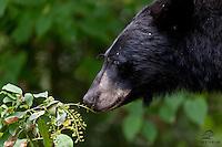 Black Bear male feeds on berries, Northern Minnesota