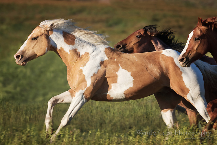 Palomino paint, galloping ahead of two other horses, racing across a pasture, eastern Oregon.