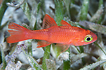 Apogon planifrons, Pale cardinalfish, Roatan