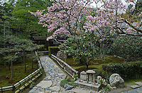 A cherry blossom in full bloom in the gardens of the Hosen-in Temple, with the famous 700 year-old pine tree pruned to resemble Mount Fuji in the background