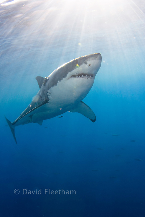 This great white shark, Carcharodon carcharias, was photographed swimming through light rays just below the surface off Guadalupe Island, Mexico.