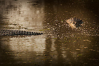 Crocodiles, Luangwa River Valley, Zambia, Africa