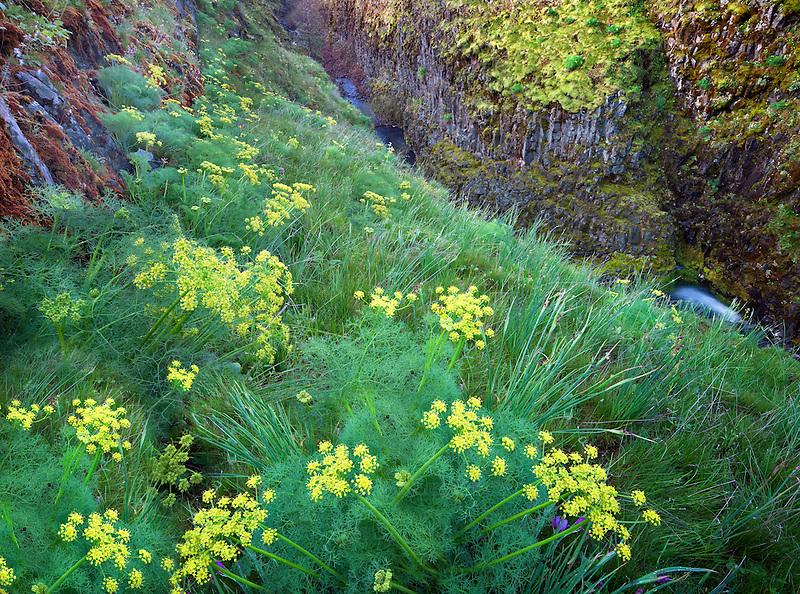 Pungent Desert Parsley (Lomatium grayi) and Catherine Creek. Columbia River Gorge National Scenic Area, Washington
