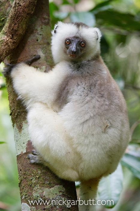 Silky Sifaka (Propithecus candidus). Marojejy National Park, north east Madagascar (IUCN: Critically Endangered).