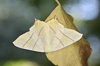Swallowtailed Moth - Ourapteryx sambucaria
