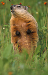 Groundhog or Woodchuck, Marmota monax, Minnesota, captive, smelling the air, senses, in meadow .USA....