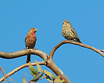 House Finches, Male and Female, American rosefinch, Sepulveda Wildlife Refuge, Southern California
