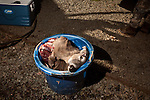 January 2, 2012. Chapel Hill, NC.. The remains of a buck are put in a bucket for burial after the meat and antlers are stripped off..Norman's Deer Processing & Sausage Making has been serving private customer's for over 20 years. Hunters bring their deer in to be processed into all cuts of venison and several types of sausage.