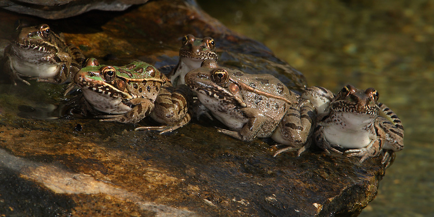 "Southern Leopard Frogs doing their morning ""round of ribbits"" :)"