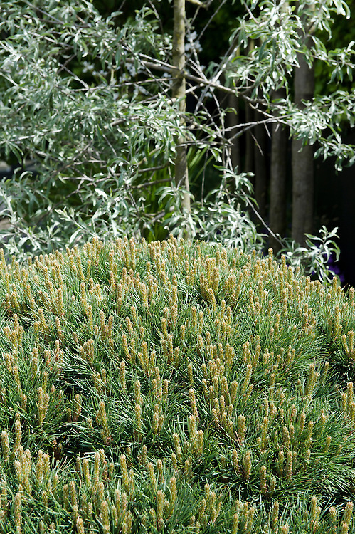 Clipped dome of dwarf Scots pine (Pinus sylvestris 'Watereri') in front of pendulous willow-leaved pear (Pyrus salicifolia 'Pendula'). Daily Telegraph Garden, designed by Ulf Nordfjell, RHS Chelsea Flower Show 2009.