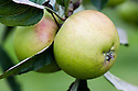 Apple 'Hormead Pearmain', mid September. A 19th century English culinary apple originally from Hormead in Hertfordshire.