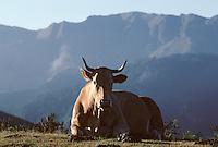 Europe/France/Aquitaine/64/Pyrénées-Atlantiques/Pays de Cize: Vache au col Aphanize