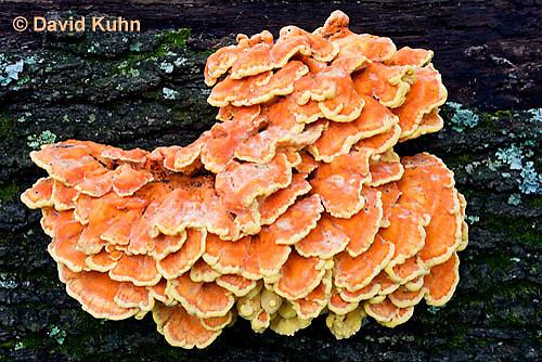 1026-1007  Sulphur Shelf Fungus on Dead Hardwood Tree (Sulphur Polypore, Chicken Mushroom, Chicken of the Woods, Bracket Mushroom), Laetiporus sulphureus  © David Kuhn/Dwight Kuhn Photography