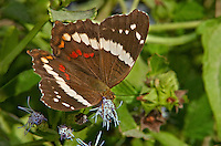 378590003 a wild banded peacock butterfly anartia fatima at  the naba site in mission hidalgo county lower rio grande valley texas united states