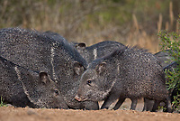 650520149 a herd of javelina or collared peccaries dicolytes tajacu interact on beto gutierrez ranch hidalgo county texas united states