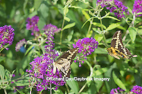 03017-01301 Giant Swallowtail butterflies (Papilio cresphontes) male and female at Butterfly Bush (Buddleia davidii)  Marion Co., IL