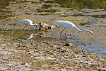 Great Egret & White Ibis