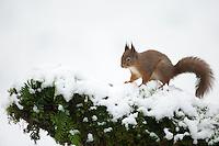 Red squirrel Sciurus vulgaris, an adult in deep snow, Dumfries, Scotland, UK, January