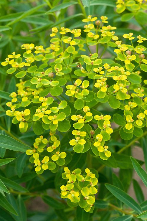 Euphorbia soongarica, mid June.