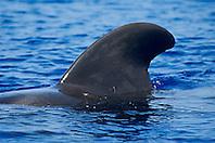 short-finned pilot whale bull, dorsal fin, Globicephala macrorhynchus, Kona Coast, Big Island, Hawaii, USA, Pacific Ocean