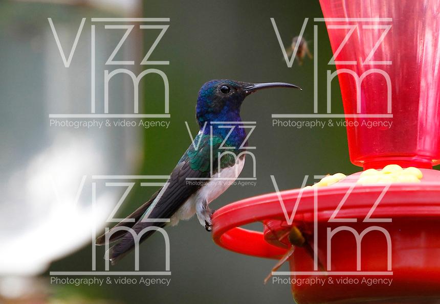 MANIZALES -COLOMBIA, 19-10-2016. Se calcula que en Manizales hay unas 150 especies de colibríes, tanto residentes como migratorias. Por este motivo, la capital caldense se ha convertido en lugar de visita de los amantes del avistamiento de aves .En la foto Un colibrí collarejo posa sobre uno de los abrevaderos del Eco Hotel Tinamú cerca a Manizales. Photo:VizzorImage / Santiago Osorio  / Contribuidor