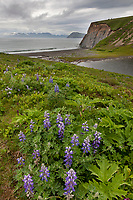 Lupine wildflowers grow along the coastal shores of Fossil beach on the island of Kodiak, Alaska.