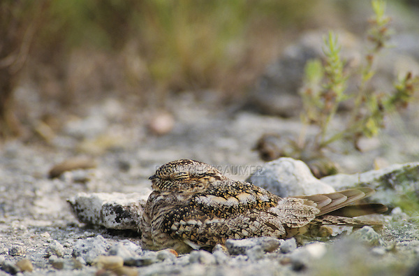 Lesser Nighthawk, Chordeiles acutipennis, female on nest camouflaged, Lake Corpus Christi, Texas, USA, May 2003