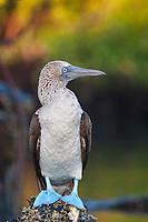 Blue footed booby, Santa Cruz Island, Galapagos Islands, Ecuador.