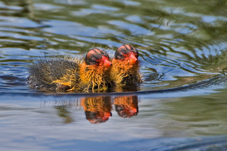 Pair of baby American Coots swimming in a small lake