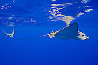 A pair of spotted eagle rays, Aetobatus narinari, pregnant female and mate, Kona Coast, Big Island.