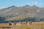 Bighorn sheep rams bedded on alpine tundra. Rocky Mountain National Park, Colorado.